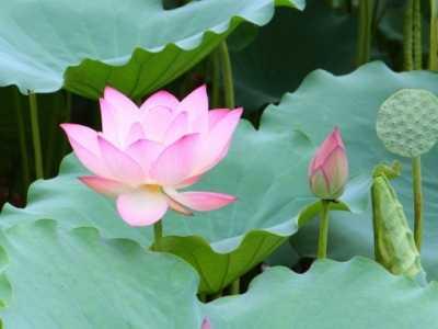 莲花并不是单指一种植物 荷花为什么叫荷花
