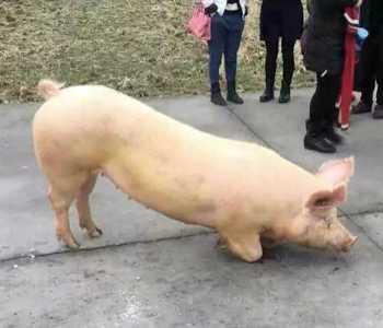 结果隔天被猪杀了 杀猪大叔