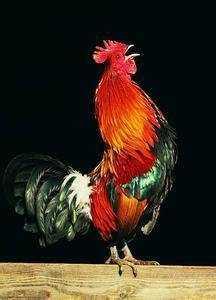公鸡为什么中午也打鸣 公鸡为什么打鸣